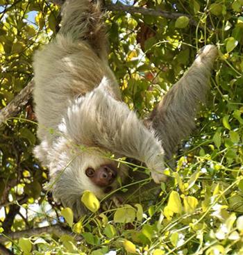 dieren op aarde, luiaard, natuuronderwijs online oefenen