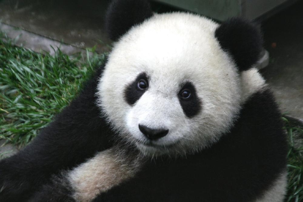 pandabeertjes in Nederland